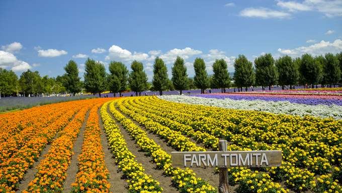 Row of colorful flower in Tomita farm1