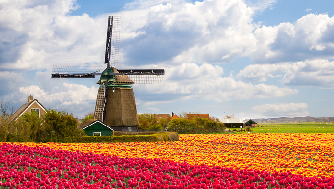 Windmill with tulip field in Holland.
