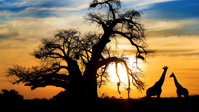 Baobab sunset with giraffe on African savannah.