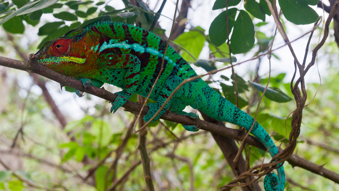 Panther chameleon in the northern Madagascar.