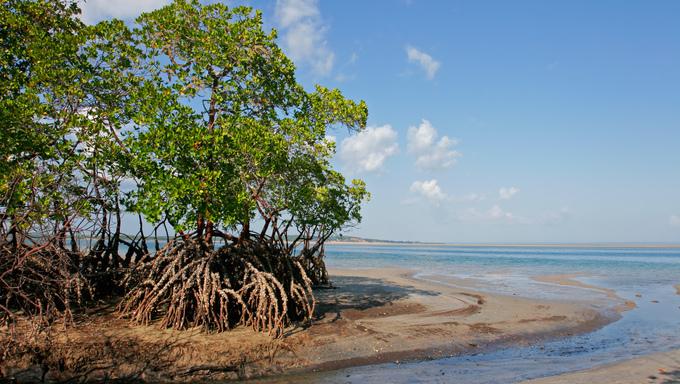 Mangrove tree at low tide.