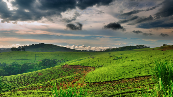 Tea plantation in Uganda, rainy season