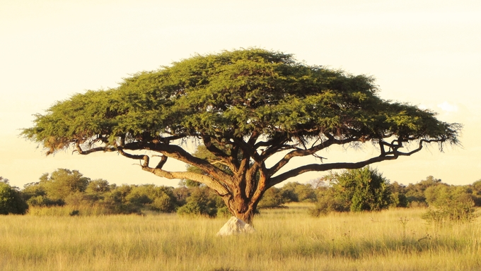 Acacia tree on the African plain.