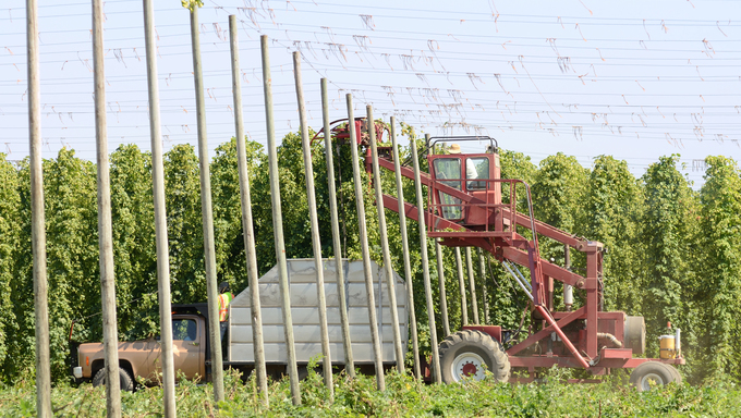 Willamette valley hops being harvested near Salem Oregon.
