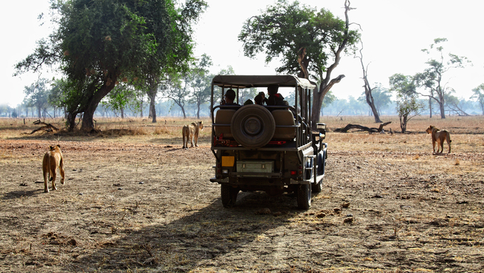 Safari offroad cars surrounded by lioness