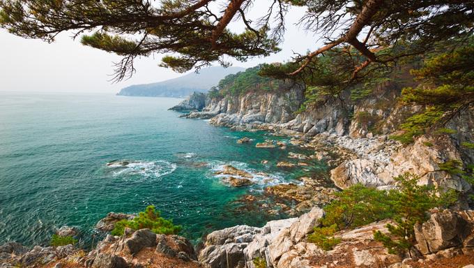 Cedar on the shores of the sea. Near Vladivostok.