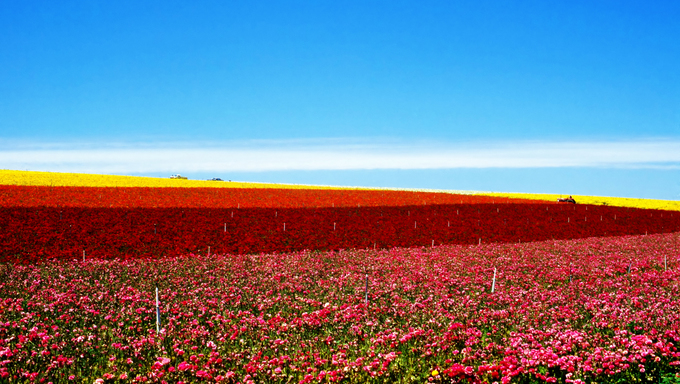 Flower fields on a farm in Carlsbad.