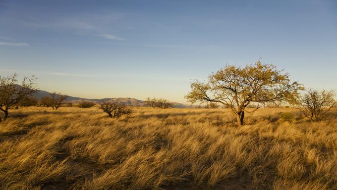 Grasses of the desert plain outside of Tucson, Arizona glisten in the light of the setting sun.