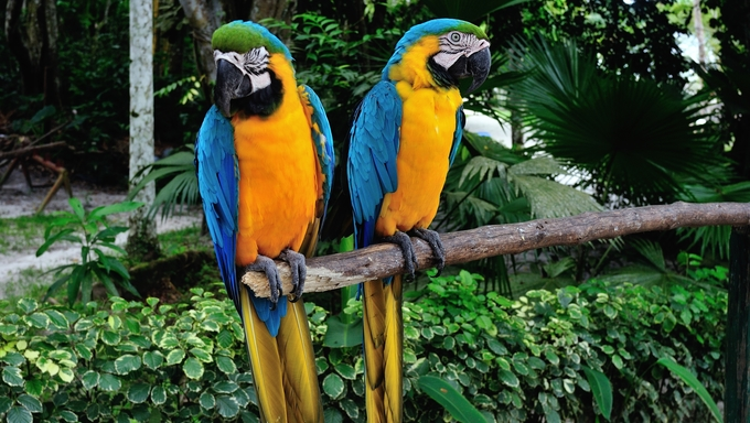 Two parrots at the Zoological Park in Iquitos. Department of Loreto.