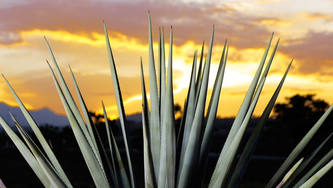 Agave tequila landscape sunset to Guadalajara, Jalisco, Mexico.