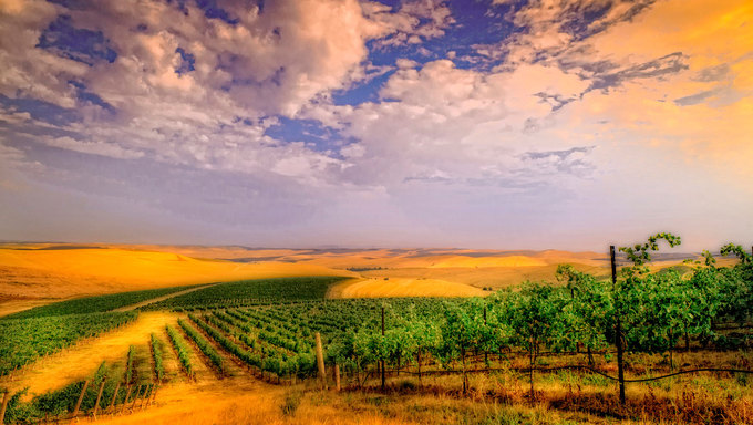 Gorgeous vineyard and scenery just outside of Walla Walla, WA, located near Kennewick.