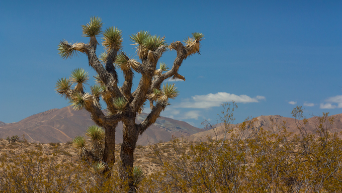 A Joshua Tree in the Mohave Desert of California.