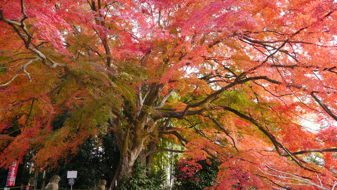 The Kamo Shrine, a beautiful tree in Sendai, Japan.