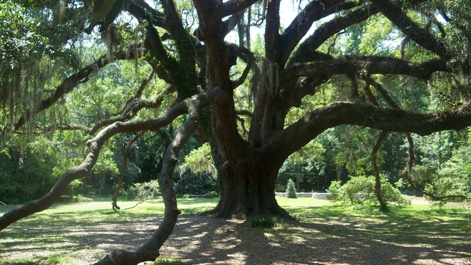 The massive Lichgate Oak Tree in Tallahassee.
