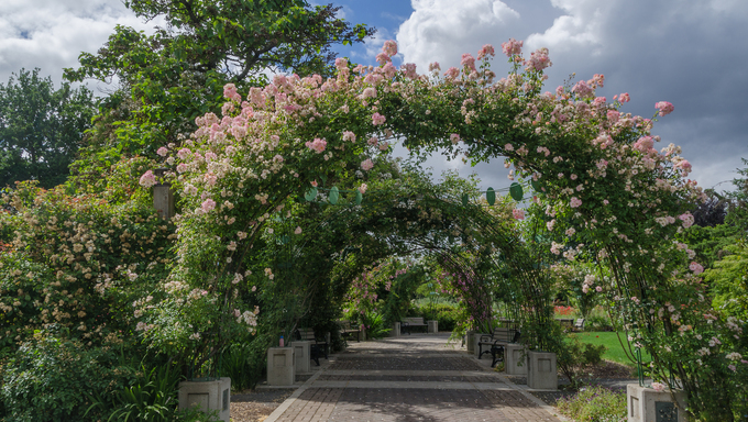 White billowing clouds above sun-kissed roses growing on an archway walk at the Owen Rose Garden in Eugene.