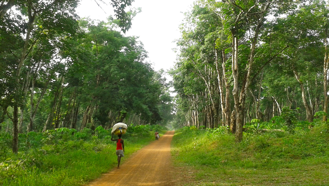 A view of Firestone Rubber Plantation in Margibi County.
