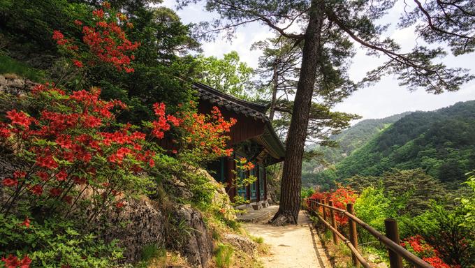 Royal azalea along the roads leading up to a small Buddhist shrine in Odaesan National Park, Near Sogeumgang and Geumgangsa Temple.