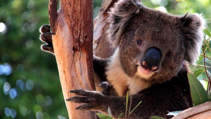 Victorian Koala in a Eucalyptus Tree near Adelaide, Australia.