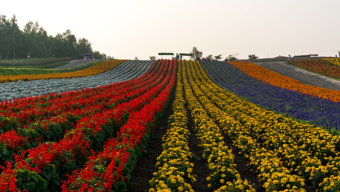 Field of flowers stretching for miles.  Photo taken in Biei, Japan.