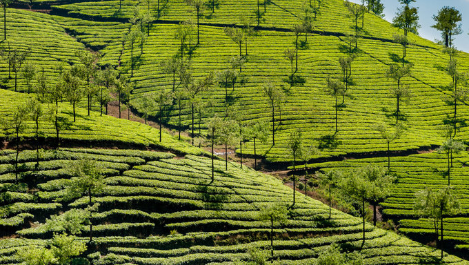 Tea plantations in Kerala India.