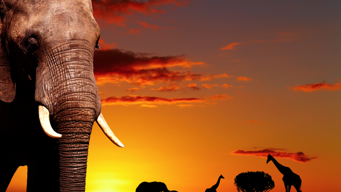 African elephant in savanna at sunset.