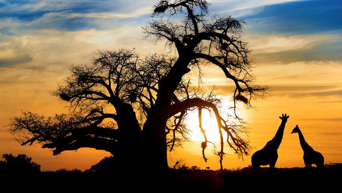 Baobab sunset with giraffe on African savannah.