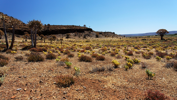 Dry, flourishing landscape in South Africa with quiver trees.