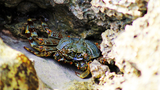 Crab waiting in its hideaway.