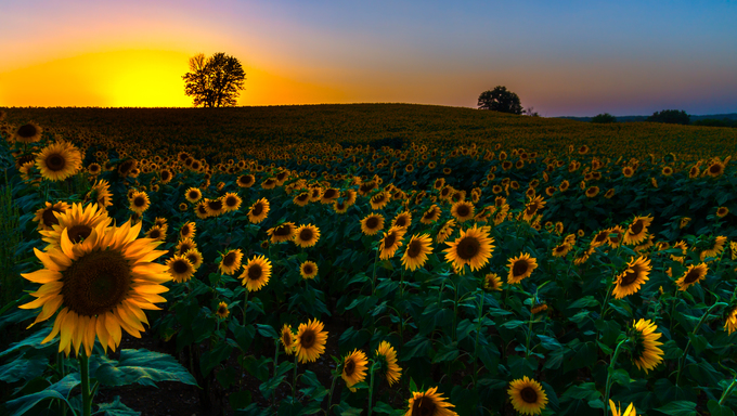 A view of a backlit sunflower field at sunset in Kansas.