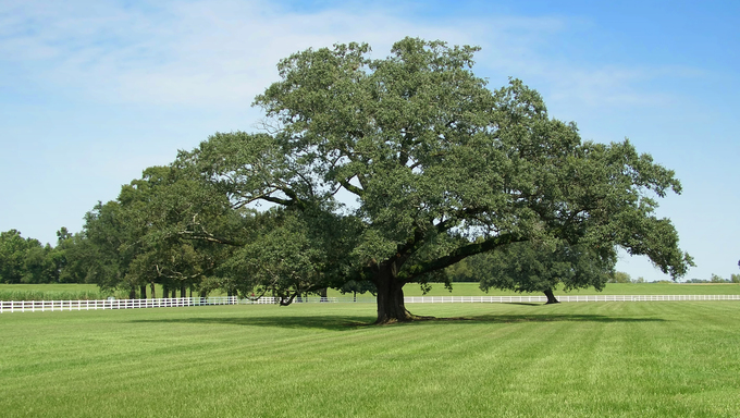 Lonely oak tree in Oak Alley Plantation, Louisiana.
