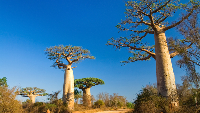 Baobab trees, Madagascar.