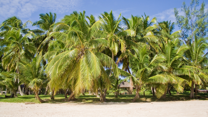 Coconuts on the beach.