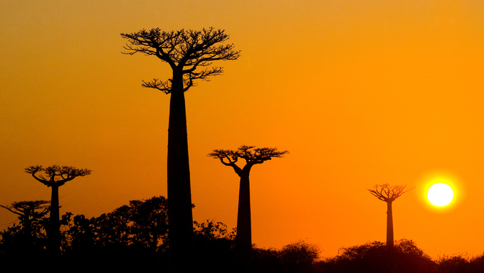 Beautiful Baobab trees at sunset in Madagascar.