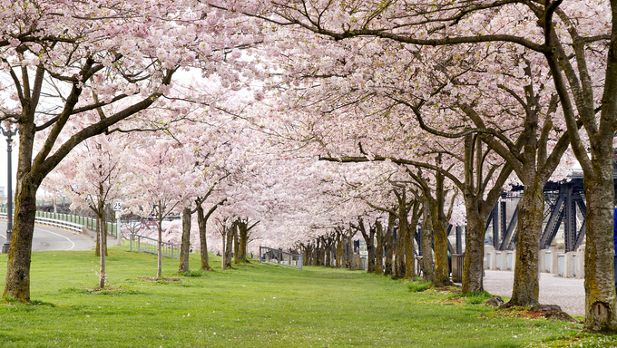 Cherry Blossom Trees in Waterfront Park Portland Oregon.