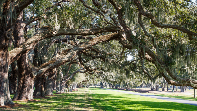 Lines of old oak trees around a lane of green grass.