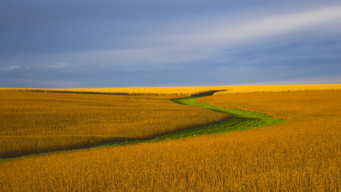 Soybean field during sunset.
