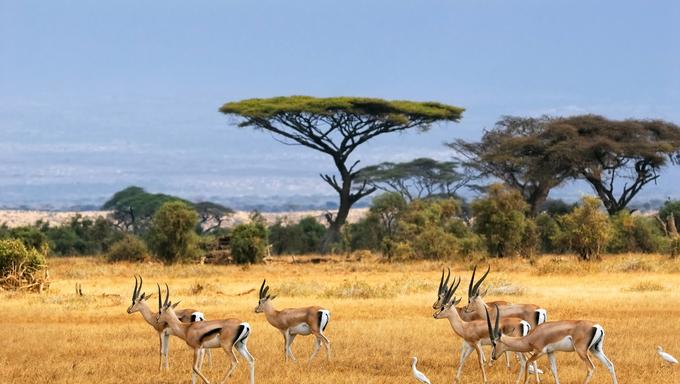 African landscape with gazelles. Amboseli, Kenya.