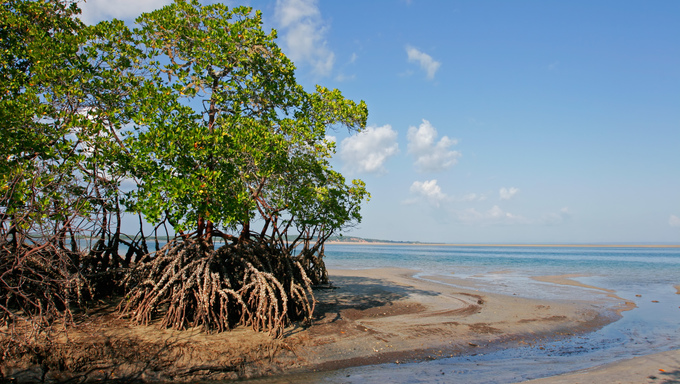 Mangrove tree at low tide.