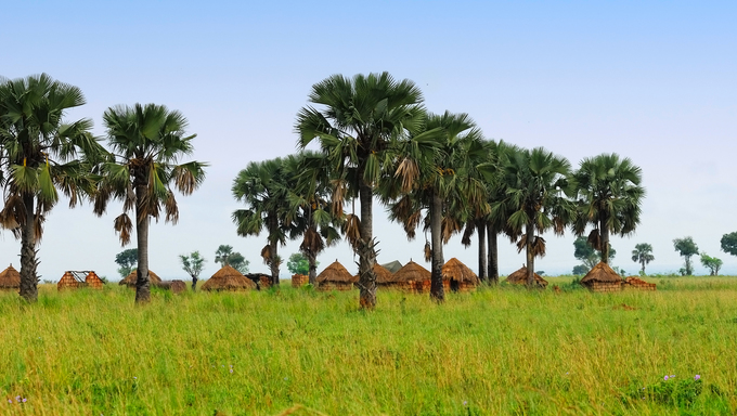 African huts and palm trees in the savannah, Uganda