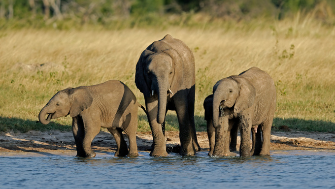 Three young African elephants at a waterhole, Hwange National Park, Zimbabwe.