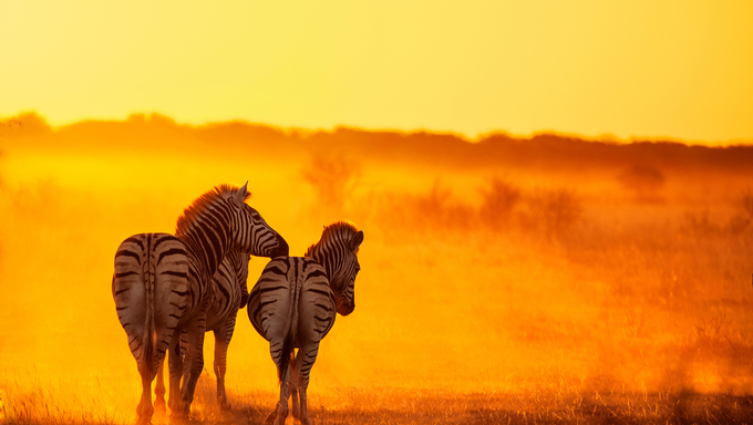 Zebras at sunset in Zimbabwe.