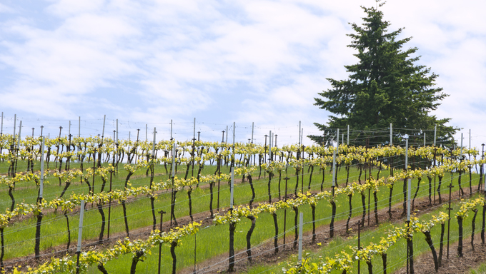 New spring grapes growing in a vineyard in the central Willamette Valley around Salem Oregon.