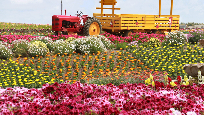 Colorful flower fields.