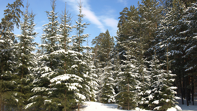Russia Winter forest, Novosibirsk Region