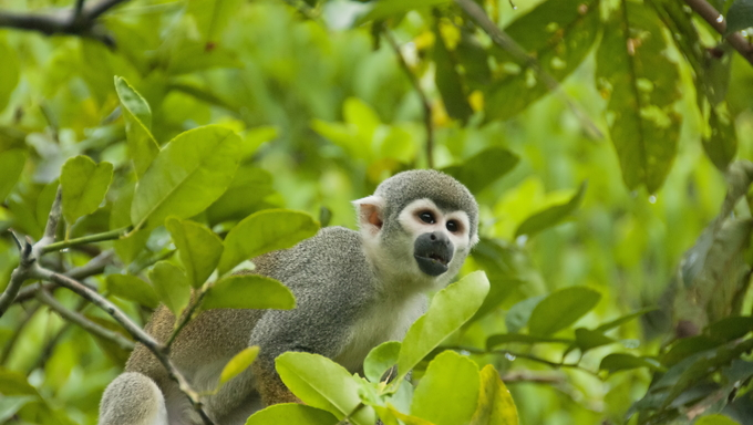 Squirrel Monkey (Saimiri sciureus) in forest near Iquitos, Peru.