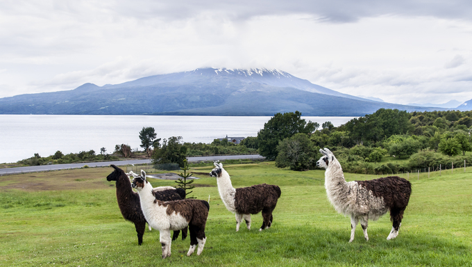 Alpaca and Osorno Volcano on a cloudy day, Lake Region, Chile.