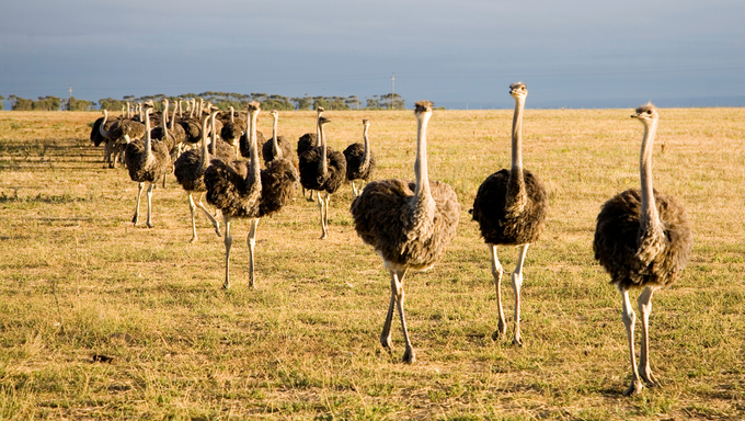 Ostriches in South Africa early in the morning somewhere on the Garden Road going to Durban