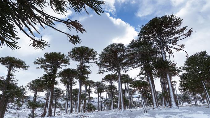 Provincial Park of Copahue - Caviahue. Patagonia, Argentina