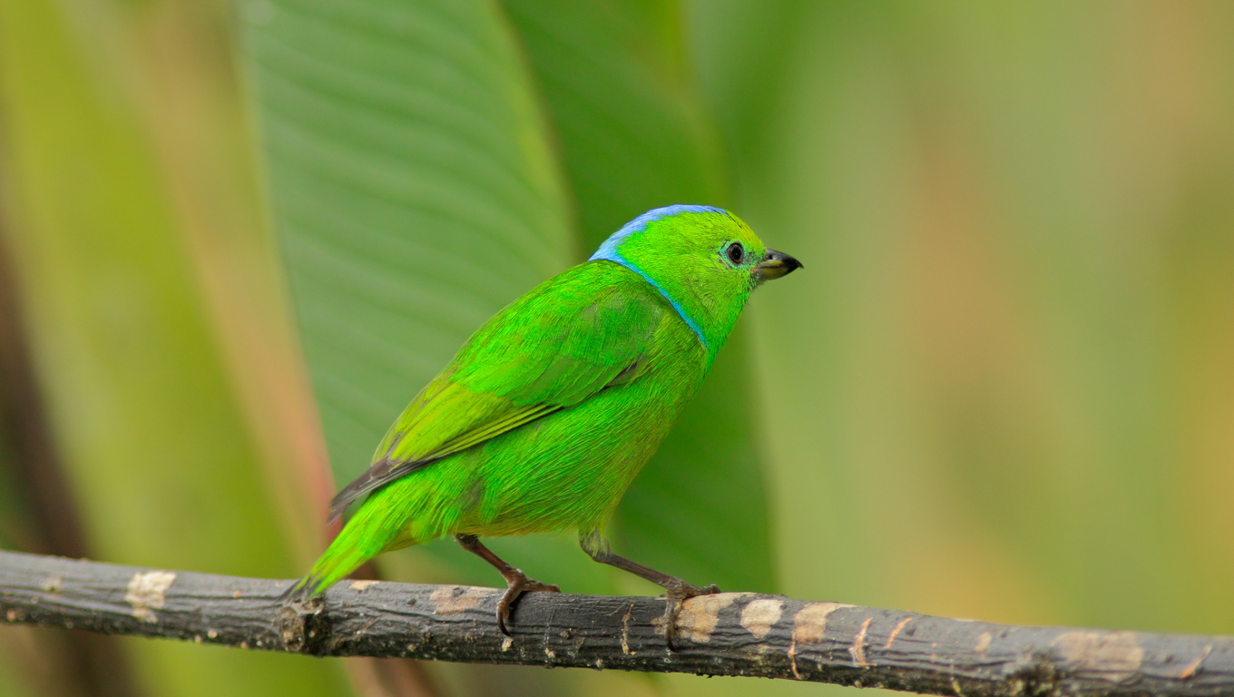 Golden-browed Chlorophonia, Chlorophonia callophrys, exotic tropic green song bird form Costa Rica