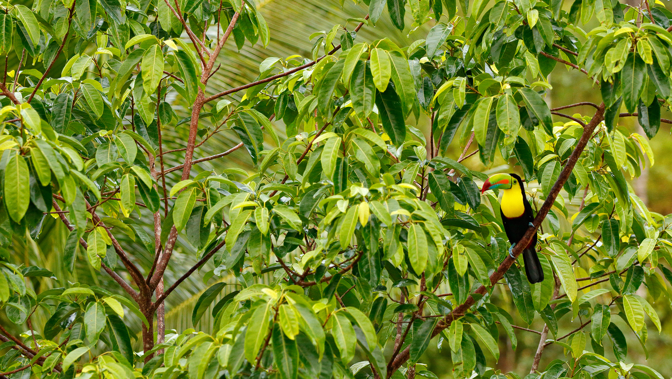 Keel-billed Toucan, Ramphastos sulfuratus, bird with big bill. Toucan sitting on the branch in the forest, Boca Tapada, green vegetation, Costa Rica. Nature travel in central America. Bird in habitat.